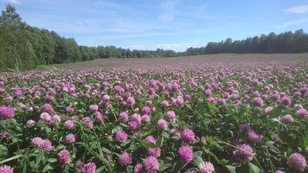 Motivering: Jag tycker att fältet med Taifon, tetraploid rödklöver, som blommar för fullt nu är det grannaste fältet vi har!
