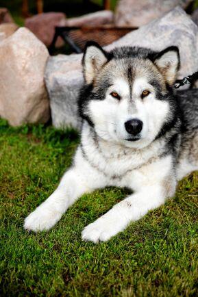 Den ulliga Alaskan malamute-tiken Cheya skulle egentligen vara en draghund, men vill hellre vara med människor, särskilt Ulf.