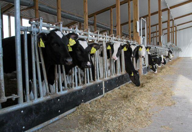 Kalvarna utfodras med mjölk två gånger per dag och med en egengjord torr mix som utfodras en gång per vecka. Kvigkalvarna hålls i gruppboxarna till cirka fyra månaders ålder och tjurkalvarna skickas till Ölanda när de är mellan två och tre månader.