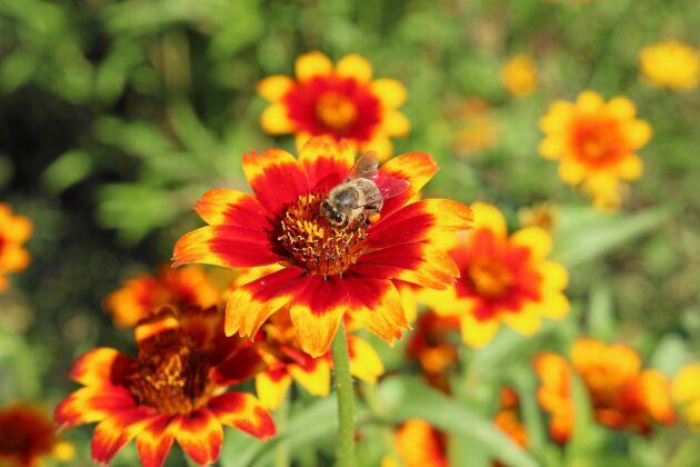 Den har kallats för både guldzinnia och mexikansk zinnia. Bin och humlor kallar den för middag, pollen serveras generöst mitt på bordet.