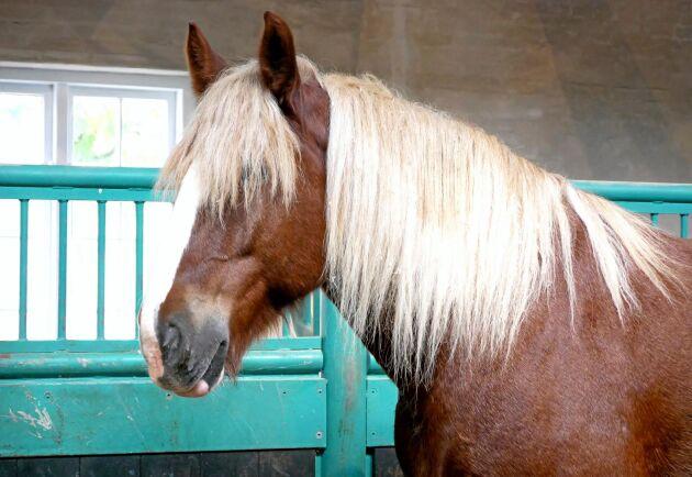 Carlsbergs äldsta medarbetare är hästarna. I dag finns sju hästar kvar hos bryggeriet.