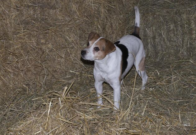 Den dansk-svenska gårdshunden avlades fram till att bland annat råttjägare och används som så fortfarande idag på vissa gårdar. Dock är det främst som sällskaps- och sporthund den används numera.