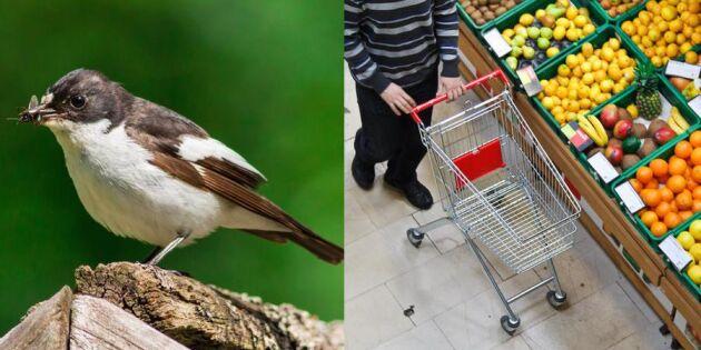 Ny studie: Fågelkvitter gör män mer betalningsvilliga