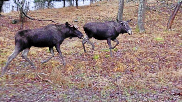Partierna tycker till om dagens älgförvaltning och huruvida den fungerar med avseende på skogsproduktionen.