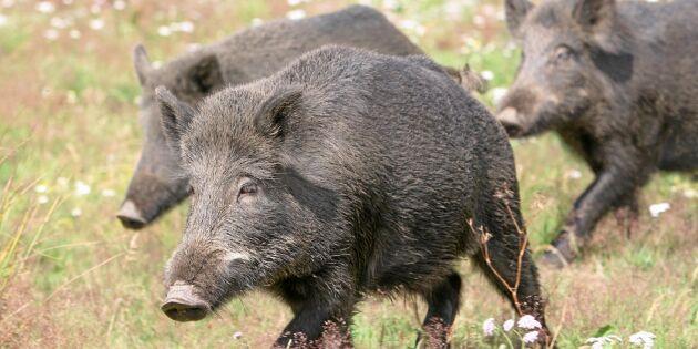 Landsbygdsministern ville prata vildsvin