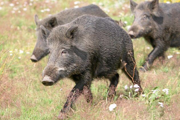 I dagarna hålls två högnivåmöten för att hitta gemensam syn på hur antalet vildsvin i Sverige kan begränsas.