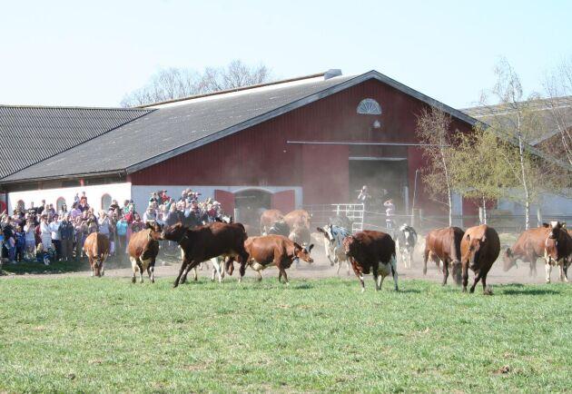 De fyra största mejerierna har alla uppmärksammat mjölkböndernas oro inför vårens kosläpp. Här en bild från kosläppet på Björketorps gård i Johannishus i Blekinge, våren 2011.