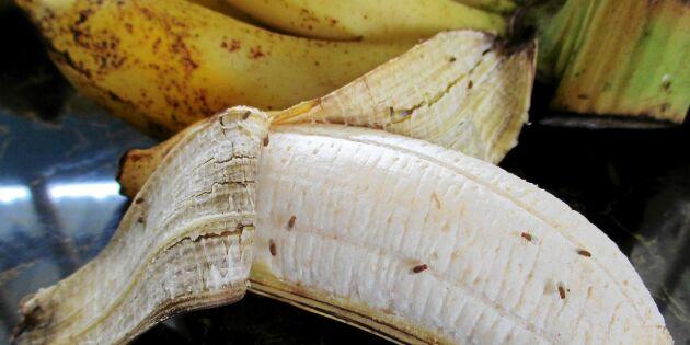 Bananflugan: Det gör den i köket – och därför borde du tacka den