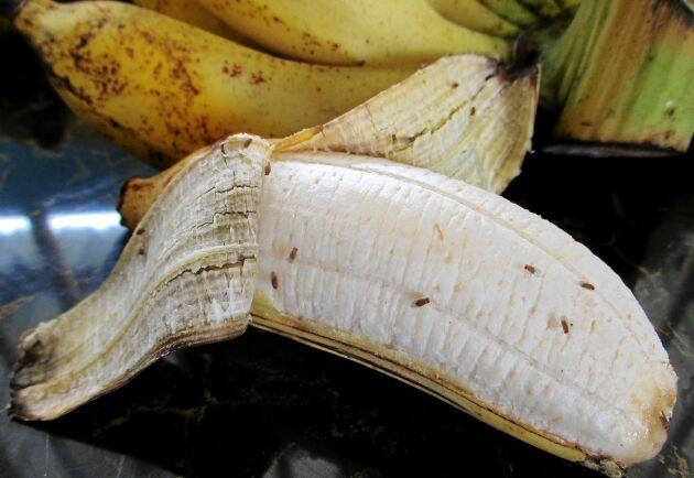 Fruktflugor bland bananerna. Lite läbbiga men också lite nyttiga.