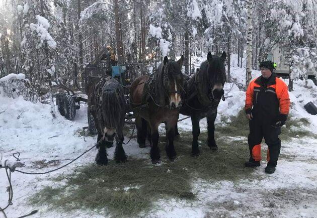 Matrast. Lars-Olov Lundgren har försett hästarna med hö.