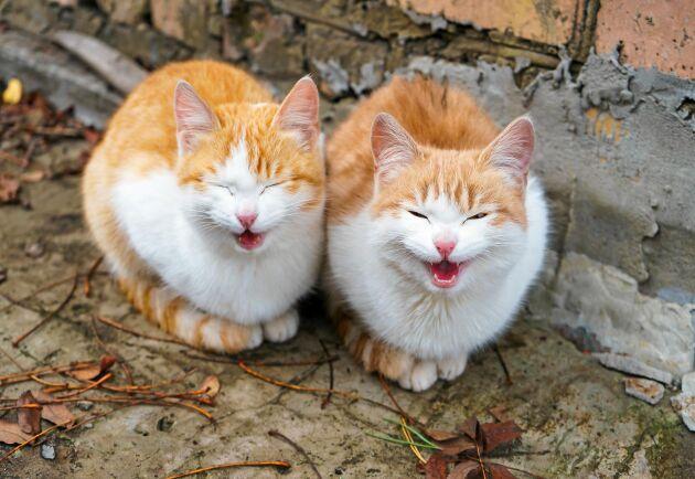 Klarar du att tyda kattens alla jamanden?