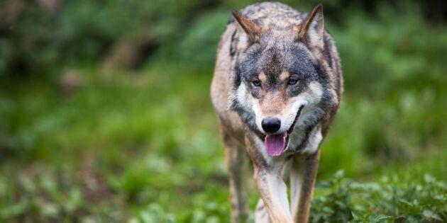 Många får avslag för skyddsjakt på varg