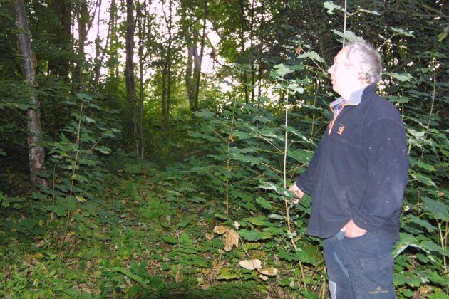 Anders Blomberg, som arbetar med att röja bort sykomorlönn från Helsingborgs kommuns tätortsnära skogar, visar ett bestånd strax norr om stan med ett kraftigt uppslag av sykomorlönn.