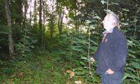 Tysklönnen jagas med röjsåg