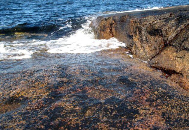 På västkusten kan det bli möjligt att skapa algodlingar i framtiden. På Tjärnö utanför Strömstad har Göteborgs universitet en marin forskningsstation med en anläggning där forskarna odlar alger för sina olika projekt.