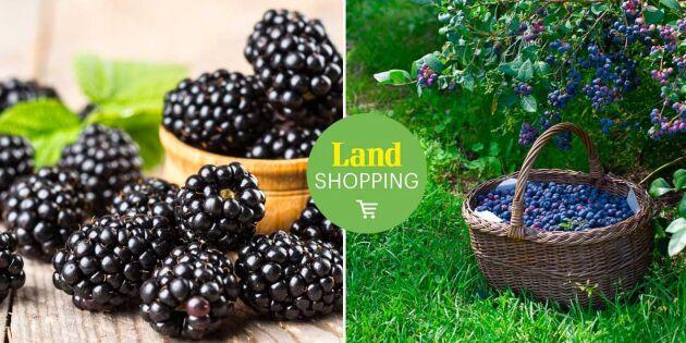 Taggfri och självfertil! Odla trädgårdens superbär helt utan bekymmer
