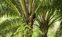 EU-parlamentet hoppas på hårdare tag mot palmolja
