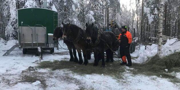 De jobbar med hästkrafter i skogen