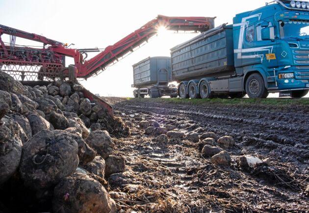 Lastning. Några av de allra sista betorna lastades under dagen utanför Tomelilla för att sedan köras till bruket i Örtofta.