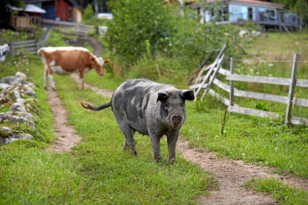 """""""Grisen"""" trivs inte med sina kompisar i hägnet, det blir bara bråk. Därför får hon vandra fritt på gården."""