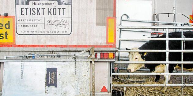 Handläggaren: Inga pengar till bönderna efter Hälsingestintans konkurs