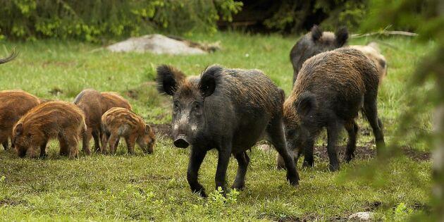Så ska Sverige stoppa afrikansk svinpest