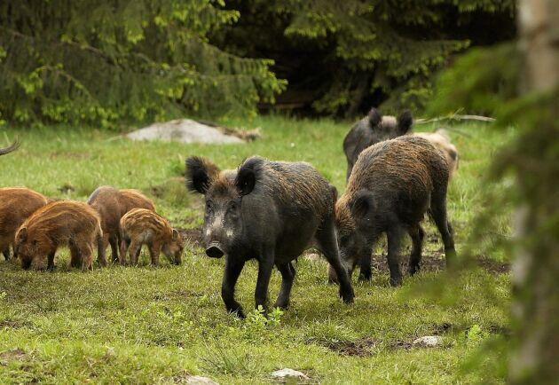 Förvaltningen av vildsvinsstammen är en av nycklarna till att smittan inte sprids.