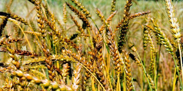 Genombrott för grödor som klarar klimatförändringar