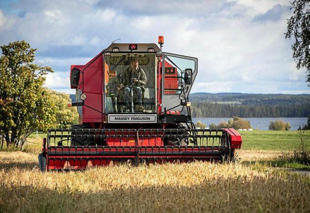 Traditionellt odlas det mycket korn i Jämtland, men Erik Milton vill gärna prova annat och har odlat såväl vete och råg som havre och maltkorn på Norderön.