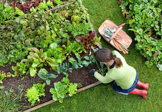 Mangold och spenat växer fort. Sätt dem bland andra växter som tar mer tid på sig.