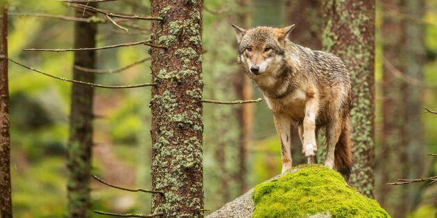 Svaren dröjer om hur rovdjursmål uppfylls
