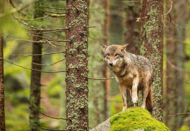 Inventeringen 2019/20 visade att det finns cirka 365 vargar i Sverige. Det är en ökning med 21 procent jämfört med fjolåret.
