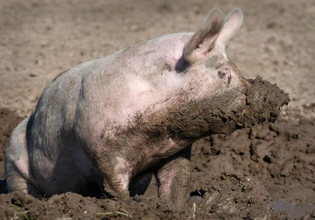 Forskarna konstaterar att det kan vara dags för ekogrisproducenterna att satsa på robustare raser som är avlade för ett aktivt liv för att få friskare grisar.