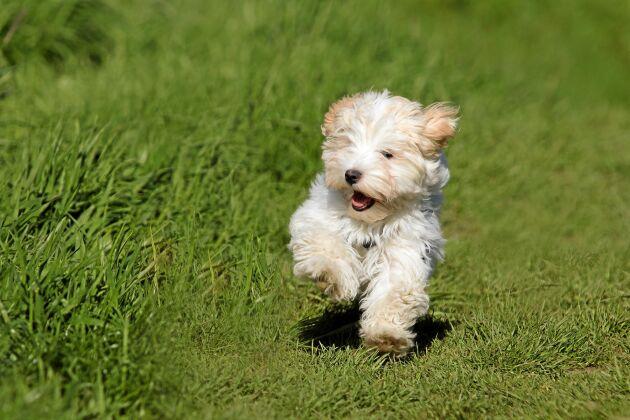 En Bichon havanais är en bra förstahund för dig som inte varit matte eller husse förr. En charmör som gillar att vara med och att vara till lags.