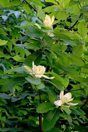 Thompsonmagnolia 'Olmenhof' med gräddvita, maffiga blommor.