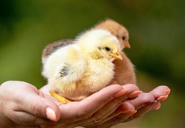 Lär dig hur kycklingar kan kläckas i en kläckningsmaskin.