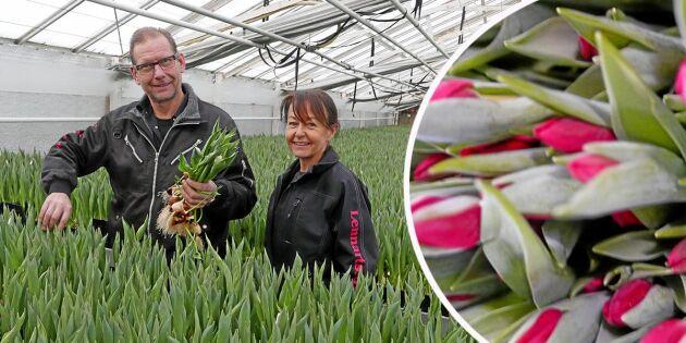 Nu börjar högsäsongen –här odlas 7,8 miljoner tulpaner