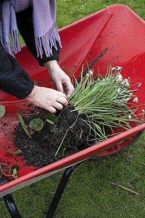 Rensa bort andra växter som letat sig in.