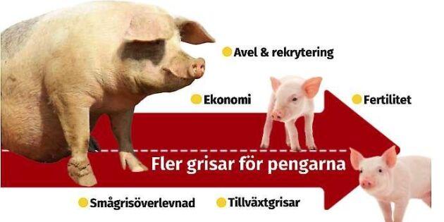 Vägen till bättre lönsamhet för grisuppfödare