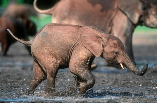 Skydda elefanterna – bli fadder i WWF eller ge bort ett fadderskap i julklapp.