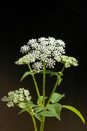 Vita blommor i juni. Kirskålen smakar sämre nu, torrare och mer parfymig.