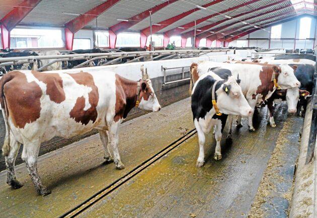 Jordbruksverket har på uppdrag av regeringen utrett konsekvenserna av en total omställning till lösdrift.