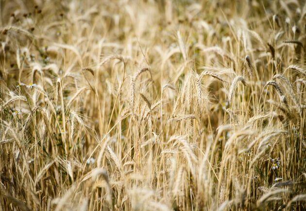 Forskare vid Göteborgs universitet är på god väg att hitta ett salttåligt vete.