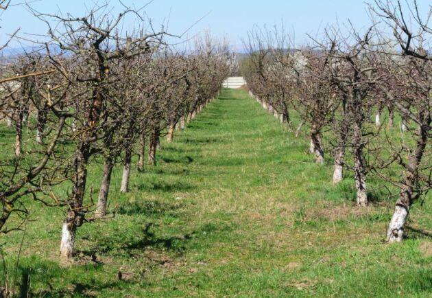 12 000 äppelträd ska planteras på totalt 10 hektar i Norrbotten, Västerbotten och Västernorrland.