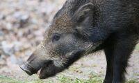 Växande oro för afrikansk svinpest