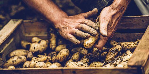Så spar du egen sättpotatis – 4 viktiga tips!