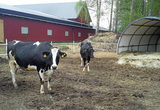 300 kvigor och kalvar finns också på gården.