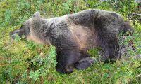 Man lurade björn in i döden