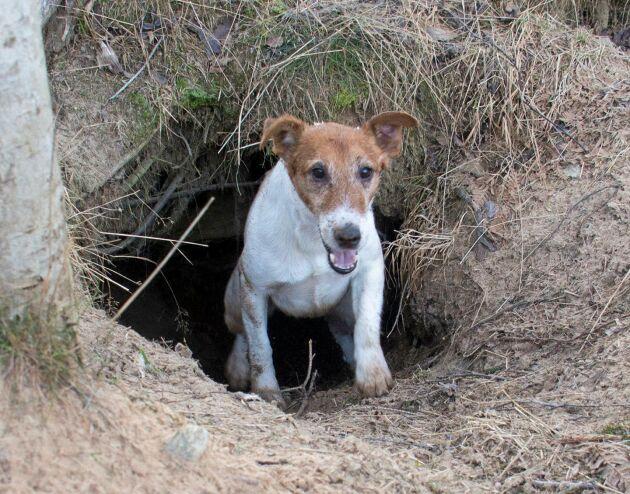 Grytjaktprov finns av två slag: för sprängare respektive förliggare. Men innan hunden får starta skarpt prov måste den genomgå ett grytanlagstest.