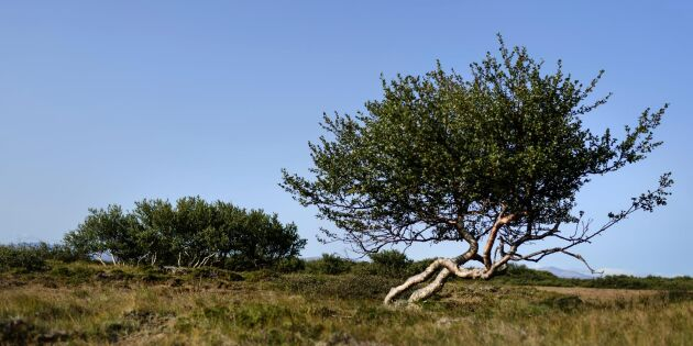 Isländska skogsdrömmar slår sakta rot